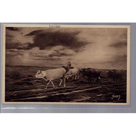 40 - Landes - Berger et son troupeau de vaches - Non voyage - Dos divise...