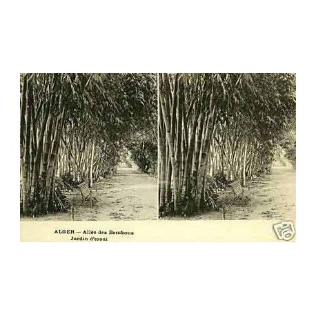Algerie - Alger - Allee des Bambous - Stereoscopique