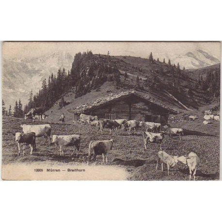 Suisse - Murren - Breithorn - Vaches