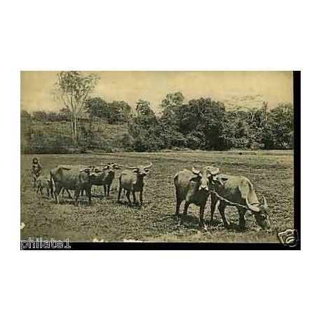 Ceylan - Ceylon buffaloes ploughing paddy fields