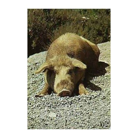 Les porcs demi-sauvages de corse