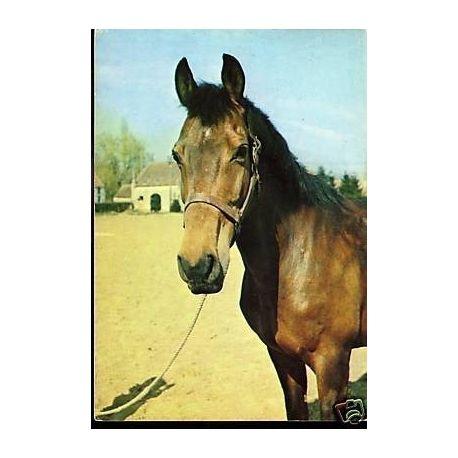 Portrait de cheval - CPSM