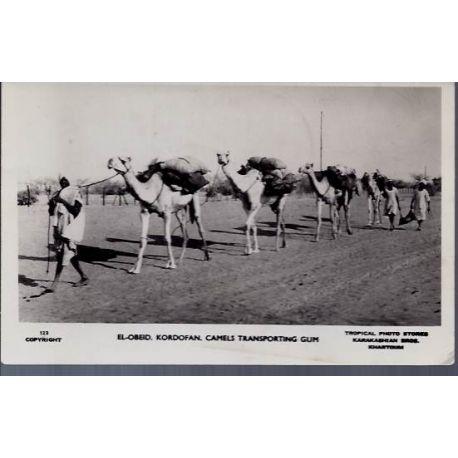 Soudan El-Obeid Kordofan Camels transporting Gum